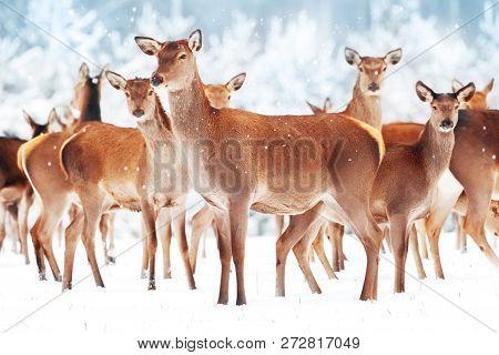 Group of beautiful female graceful deer in a snowy winter forest. Noble deer (Cervus elaphus). Winter wonderland. Christmas postcard. poster