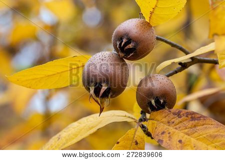 Ripe medlar fruits in autumn garden. Close-up photo of common medlar (Mespilus germanica) pomes with yellow leaves. poster