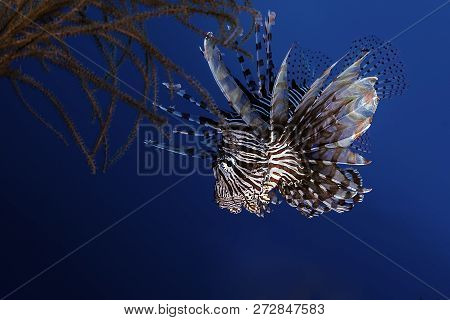 Lionfish Hunting On A Tropical Reef With Blue Ocean Water Behind.