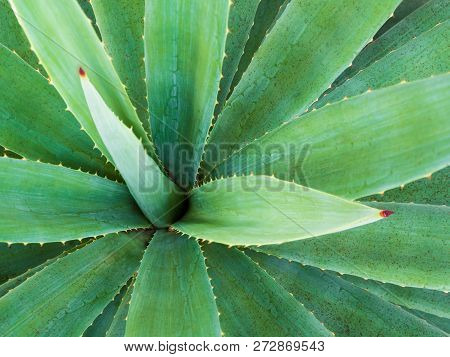 Succulent Plant Close-up, Thorn And Detail On Leaves Of Agave Plant