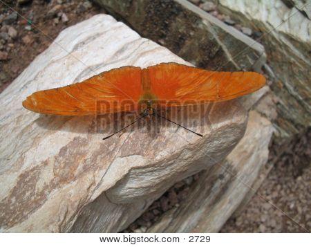 Orange Butterfly On Rock