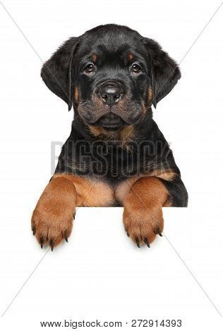 Rottweiler Dog Puppy Above Banner, Isolated On White Background. Animal Theme