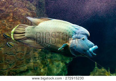 Cheilinus Undulatus  Or Humphead Wrasse, Also Known As The Napoleon Fish.