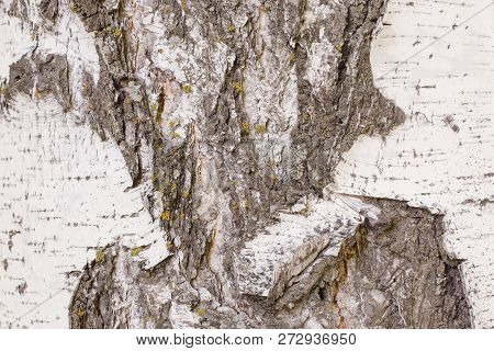 Natural pattern on old damaged birch bark. Deep cracks with detachment of the upper layer of the bark with yellow lichen. Outdoor. poster