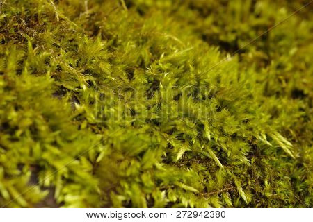 Beautiful Green Moss In The Wild Which Cover The Skin Of Tree.green Moss With Plants.texture Of Gree