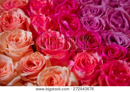 Beautiful Pink And Red Roses With Drops Of Water . Pink And Red Natural Roses Background . Pink And