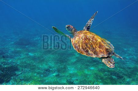Sea Turtle In Ocean Closeup. Tropical Sea Animal Underwater Photo. Marine Tortoise Undersea. Green T