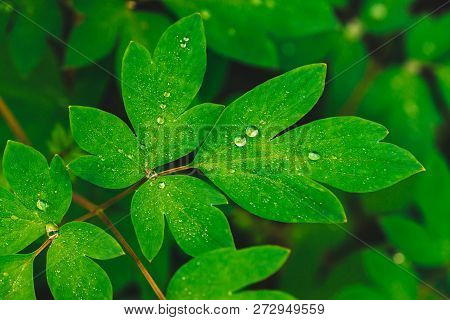 Beautiful vivid green leaves of dicentra with dew drops close-up with copy space. Pure, pleasant, nice greenery with rain drops in sunlight. Backdrop from green textured plants in rain weather. Grass. poster