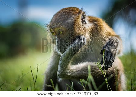 The Macaque Scratches On The Head Using The Lower Limb, The Monkey Sits On A Green Grassy Meadow, Na