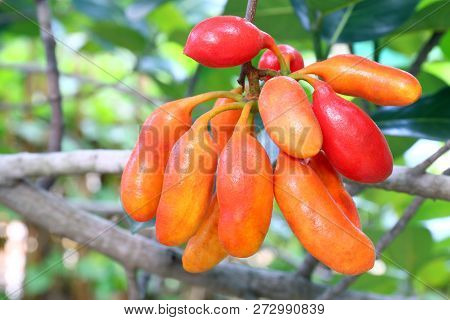 Uvaria Rufa Blume Fruit (carabao Teats), Forest Fruit, Buffalo Milk Red Fruits In Forest, Herb Rare