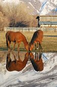 Two horses grazing in a pasture with their reflections in a pond. poster