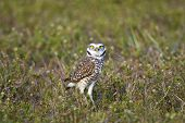 A Burrowing Owl watching me intently as I photograph him poster