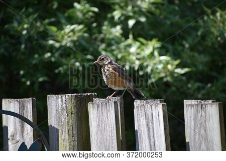 Baby Robin On A Fence. Taken In Ontario.