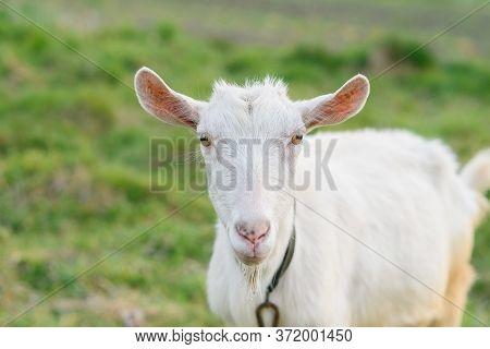 Funny Joyful Goat Grazing On A Green Grassy Lawn. Close Up Portrait Of A Funny Goat. Farm Animal. A