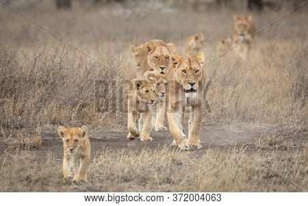 Lion Pride Led By An Adult Female Lioness With Lots Of Lion Cubs Walking In The Dry Bush In Ndutu Ta