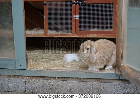 Small Lop Ear Pet Rabbit Looks Out From Hutch Within A Shed.