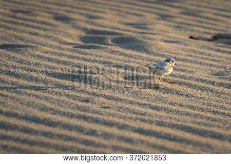 An Endangered Species Piping Plover Walks Away On The Beach