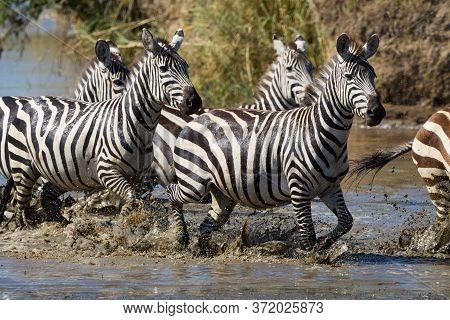 Zebra Herd Running Through Muddy Water Splashing On A Sunny Day In Serengeti National Park Tanzania