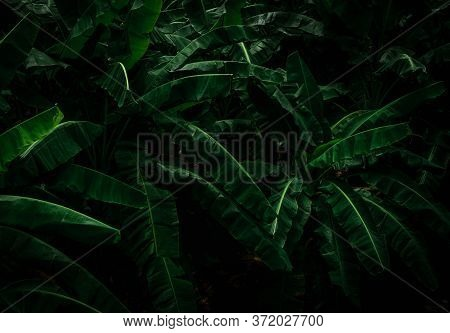 Banana Green Leaves On Dark Background. Banana Leaf In Tropical Garden. Green Leaves With Beautiful