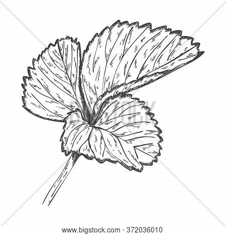 Sketch Of Strawberry Leaves. Strawberry Leaves Are Hand Drawn And Isolated On A White Background. Bl