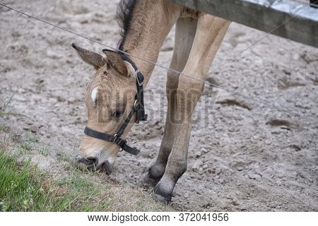Close-up Of A Small Yellow Foal, The Colt Is Eating Grass For The First Time, During The Day With A