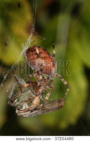 Garden Spider with prey Crane Fly in orb web. poster