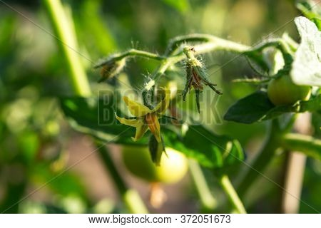 Flowering Tomatoes In The Garden. The Cultivation Of Seedlings Of Tomatoes In The Country. Yellow To