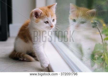 Cute Little Red Cat Sit On Wooden Floor Near Window. Young Little Red Kitty Looking At Its Reflectio