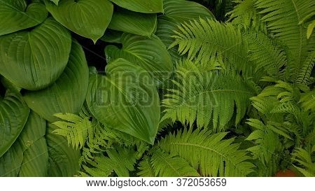 Tropical Leaves Texture Background Of Fern Plants. Fresh Green Foliage Backdrop Of Rainforest In Sum