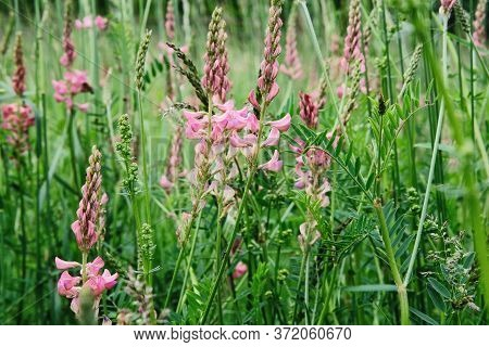 Vibrant Summer Meadow With Pink Flowers On A Sunny Day. Natural Landscape In The Summer Time.
