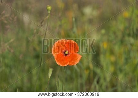 Red Wild Poppy Flowers In The Meadow. Extensive Flat Terrain. Fields, Meadows, Wasteland. It Is The
