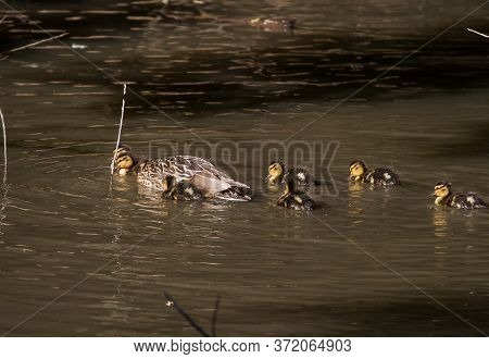 A Female Mallard Duck Swimming With Her Ducklings