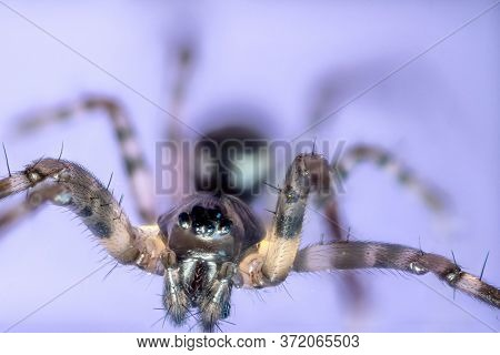 Macro Shot Of A Brown Recluse Spider On Blue Background