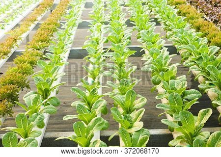 Hydroponic Salad Non-toxic In Cultivated Greenhouses. Healthy Eating Ideas, Growing Vegetables, Kitc