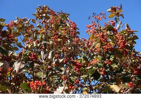 Vertical Branches Of Sorbus Aria With Red Berries And Autumnal Foliage Against Blue Sky