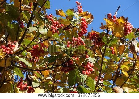 Vivid Colorful Autumnal Foliage And Red Berries Of Sorbus Aria Against Blue Sky