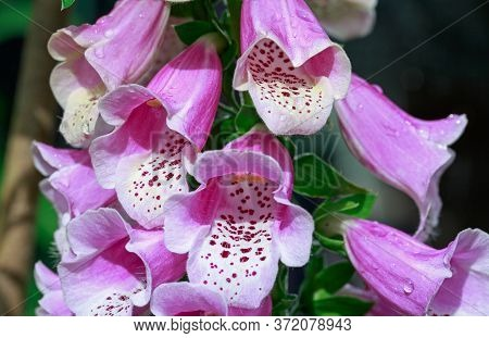 Beautiful Foxglove (digitalis) Flowers In Full Bloom.  Digitalis Is Poisonous; It Can Be Fatal Even