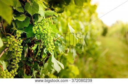 View Of Grapesand Vineyardingoriska Brda In Slovenia.