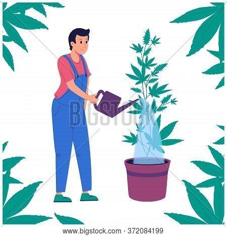 Man Watering Hemp From A Watering Can.growing Marijuana Indoor. Indica, Sativa, Thc, Cbd For Medical