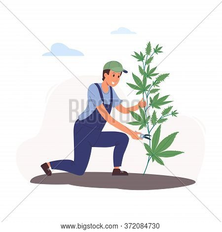 Vector Illustration Of Cultivating Cannabis In Flat Style.a Young Worker Collects Marijuana, Cuts It