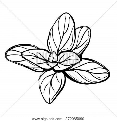 Oregano Leaves Isolated On A White Background. Oregano Is A Flavorful Condiment. Hand-drawn Vector I