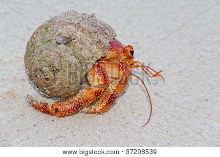 Orange Hermit Crab on a sandy background poster