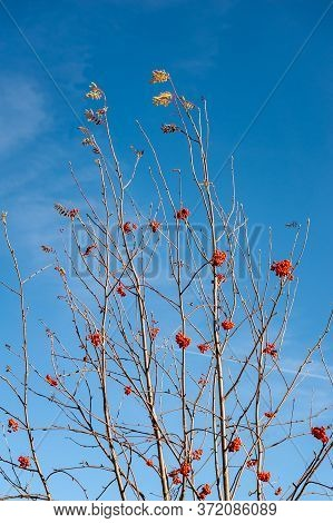 Bare Rowan (sorbus Aucuparia) Branches With Red Berries. Red Rowan Berries On The Branches Of A Rowa