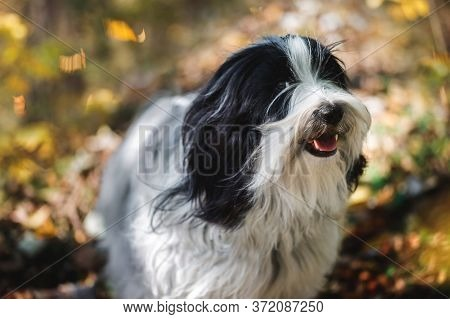 Smiling Dog. Tibetan Terrier Dog Standing  In The Forest With A Bunch Of Fallen Leaves Surrounding H