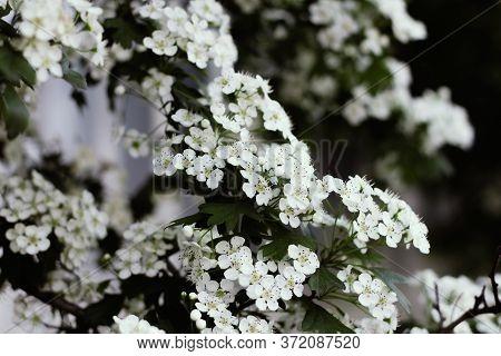 White Flowers Of Viburnum Close-up. Blooming Viburnum Bush.viburnum Opulus, Guelder Rose. Beautiful