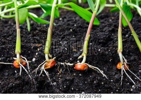 Sprouts Of Corn Soil With Exposed Roots Emanating From Grain