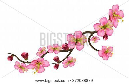 Sakura Detailed Branch Of Cherry Blossoms. A Curved Stem With Delicate Flowers And Buds Isolated On