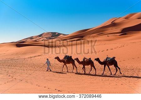 Berber Man Leading Camel Caravan In Erg Chebbi Sand Dunes In Sahara Desert