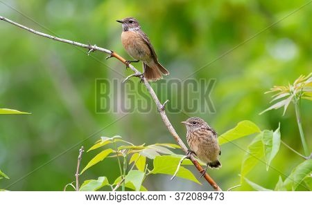 European Stonechat, Saxicola Rubicola. Female And Chick Sitting On A Branch, Green Background
