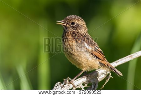 European Stonechat. Early Morning, A Young Bird Sits On The Stem Of A Plant